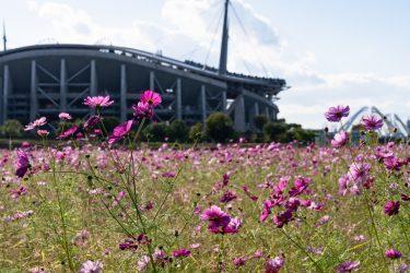 【2020年最新版】豊田の穴場コスモス畑!絶景コスモスを紹介!