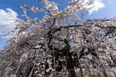 【絶景スポット】穴場スポット 専修坊のしだれ桜の魅力とは!