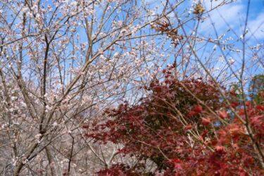 【絶景】紅葉と桜のコラボレーションをご紹介!
