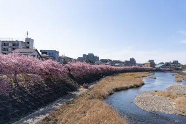 【絶景スポット】岡崎市乙川沿いに咲く綺麗すぎる河津桜の絶景!