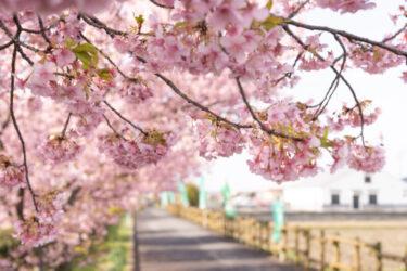 西尾ふれあいの道   地元の人に愛される絶景桜スポット