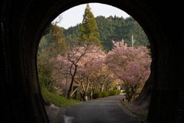 トンネルを抜けると桜並木!新城市のドラマチック絶景スポットを紹介!