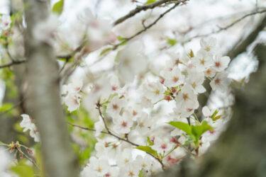 西尾市の絶景   桜の名所、黄金堤を紹介します